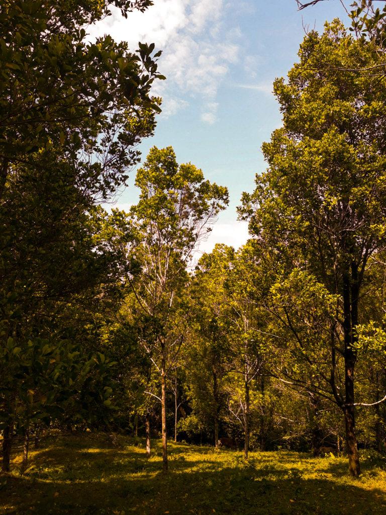 Pohon Cengkeh di Pulau Pisang